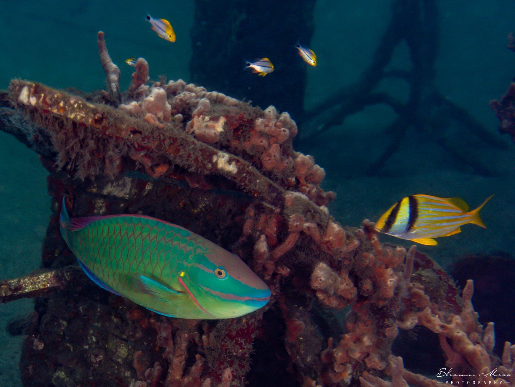 Neon aqua and yellow striped fish swim around ocean wreck