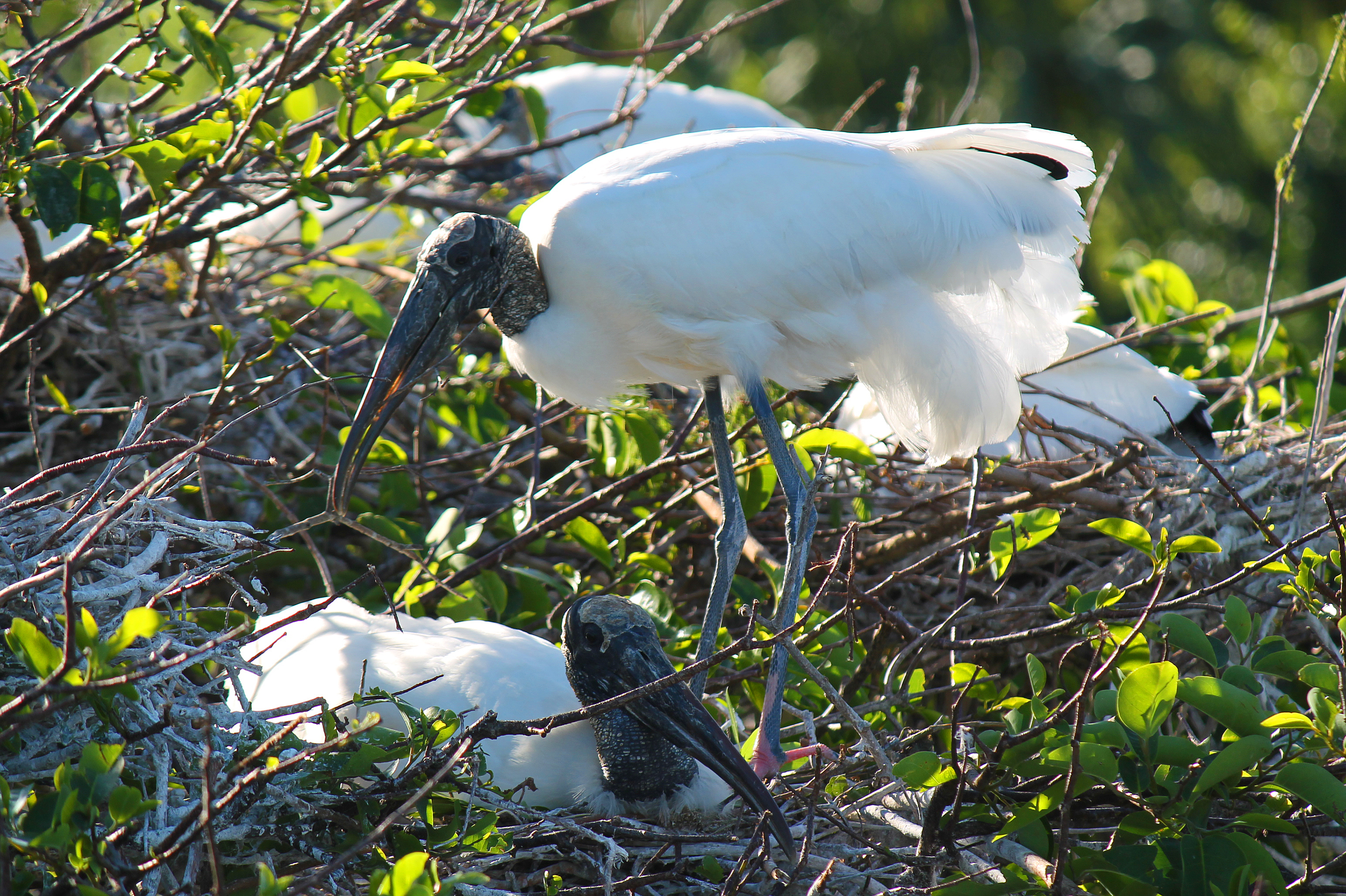 Nesting white wood storks with gray heads in tree