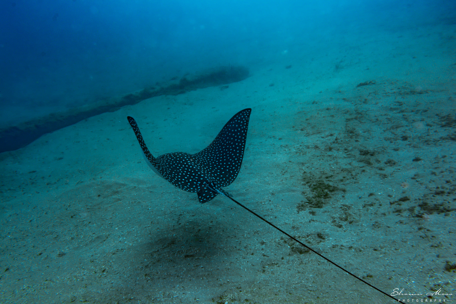 Spotted Eagle Ray glides above ocean floor
