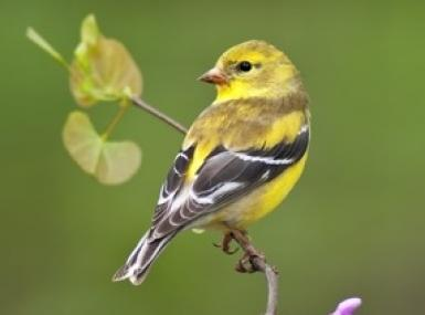 American goldfinch on tree branch with purple flowers