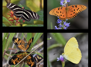 Collage of four yellow, black or orange butterfly photos in nature on black background