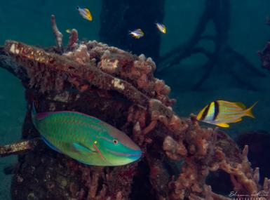 Neon aqua and yellow striped fish swim around ocean wreck