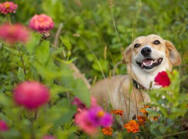 Tan dog smiles in midst of wildflower garden