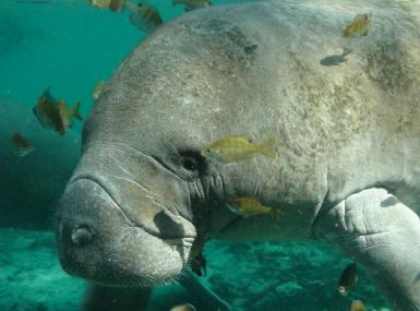 Endangered Florida Manatee swimming in shallow water
