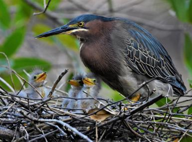 Little green heron mom and chicks in nest