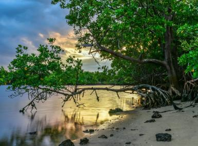 Golden sky reflects on water at shore of mangrove trees