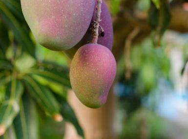 Ripe mangos hang low on a mango tree