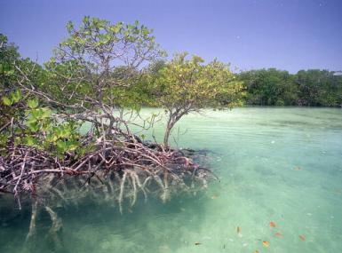 Shallow aqua green waters with island of mangrove trees and roots in the water