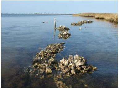 Exposed oyster reef above water line at edge of marshland