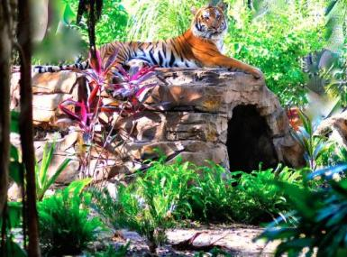 Endangered tiger lounges on top of home in Palm Beach Zoo