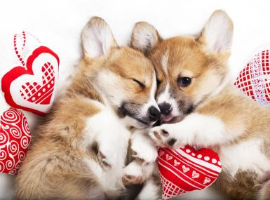 Two tan and white Corgi puppies lay amidst red and white stuffed heart ornaments