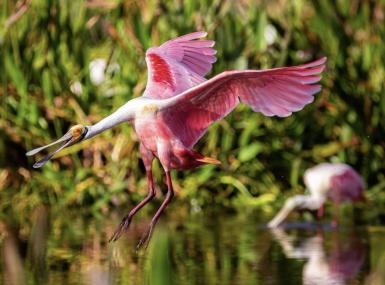 bright pink bird landing in a pond