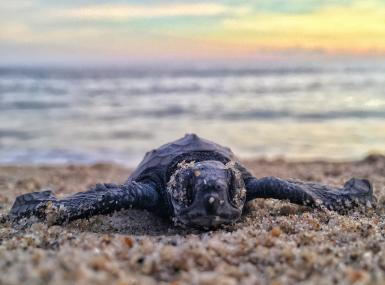 Sea Turtle Hatchling on sand beach with ocean and sky background